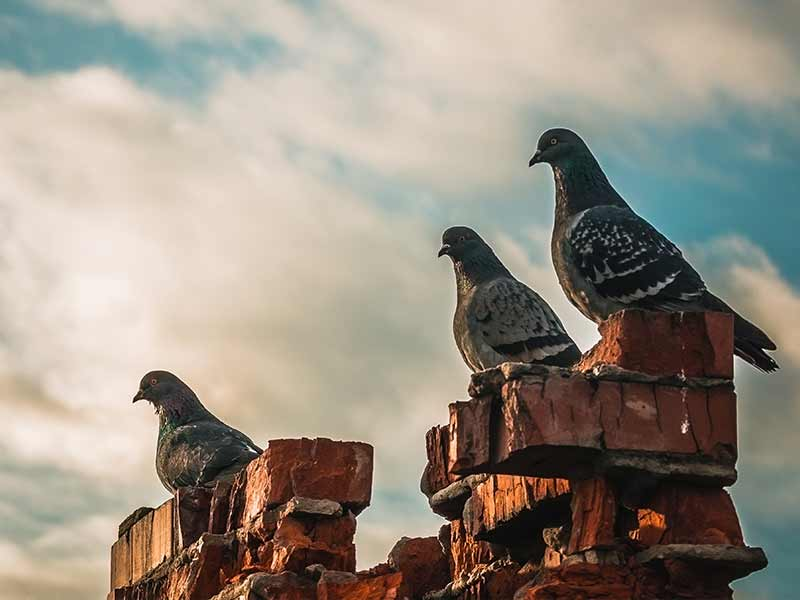 Birds sitting on top of an old chimney requiring removal